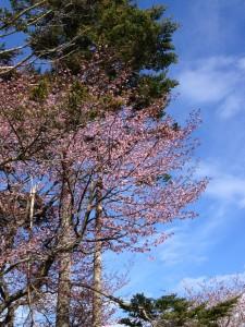 ヘイゼル桜2